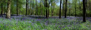 BlueBells by SamH2277