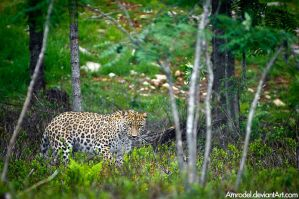 Persian Leopard III by amrodel