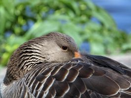 Wild Sleeping Goose by sandor99