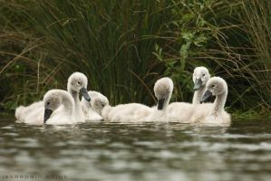 Ugly Ducklings? I disagree... by JakeSpain