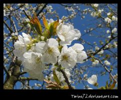 Cherry Blossom by Twins72