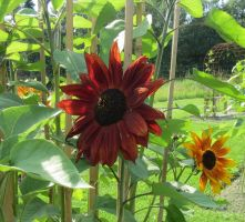 Red Sunflower 4 by Kattvinge