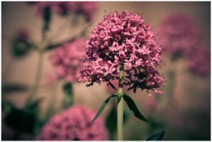 pink flowers by tspargo-photography