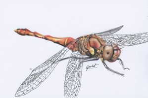 Dragonfly-Colour Drawing by Gotashi-Chan