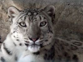 Snow Leopard by taubu-lion