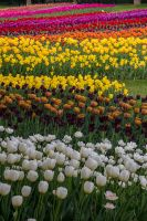 13-05 tulips #11 by evionn