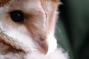 Little Barn Owl by The-Other-Half-Of-Me