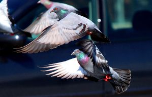 Pigeon Lift off. by sweatangel