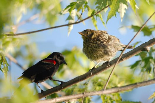 Male and Female Redwinged Blackbird by Kintarotpc
