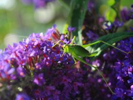 Speckled Bush Cricket by Forestina-Fotos