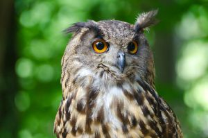 Eurasian eagle-owl by Rajmund67