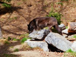 Timber Wolf by oddmountain
