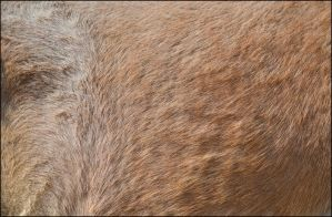Horse Fur Texture1 by FrankAndCarySTOCK
