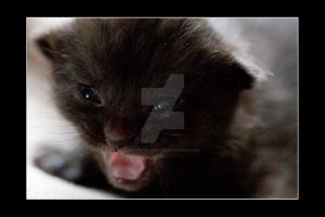 Kittens Kitten C Photo 2 by NicoleSlaughter