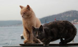 Bosphorus Cats by alkimh