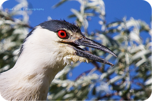 .: Night Heron Portrait :. by jon-rista