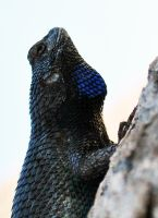 Great Basin Fence Lizard by fosspathei