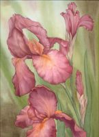 Russet Iris by louise-art