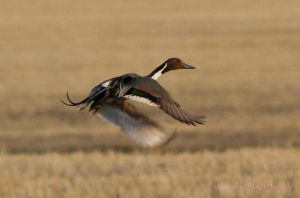Northern Pintail Duck by Kaptive8