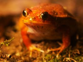 Tomato frog by Globaludodesign