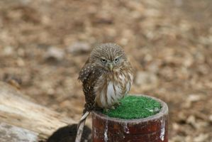 Pygmy Owl by GreenCreature