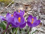 Crocuses (2) by Steve-C2