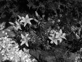 Asiatic Lilies B+W by MagnificentObsession