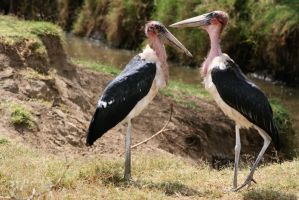 Two storks by myp55
