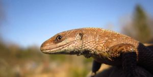 Common (Viviparous) Lizard by unitoone
