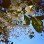 Flowers on apple tree by shytiha