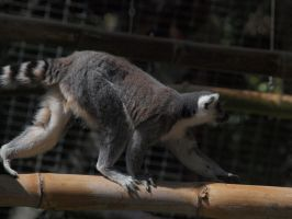 Ring Tailed Lemur by photographyflower
