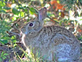 Cottontail. by buckobeck
