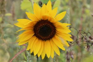 Sunflower Stock 01 by Malleni-Stock