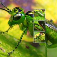 Green Sawfly Rhogogaster viridis by iriscup