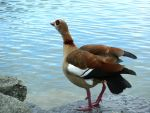 Egyptian Goose 3 by Lupsiberg