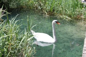 .:Krka-Swan:. by Keshvel