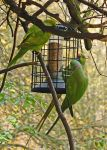 Ring-Necked Parakeets by homicidal45