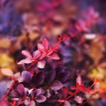 barberry by Orwald