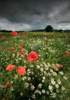 Poppies in the Rain by ArwensGrace