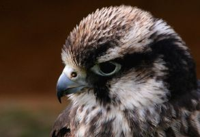 Lanner Falcon by Tinap