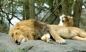 A Lion Couple by MogieG123