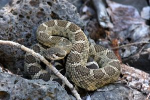 My First Rattler by xDewdropx