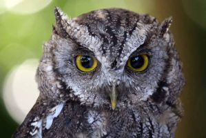 Scops Owl by hoodoo
