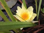 Yellow Water Lily by DajoBraginswa
