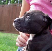 Max the Pitbull Puppy by anchorme