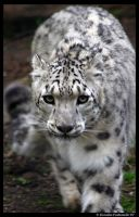 Snow Leopard approaching by TVD-Photography