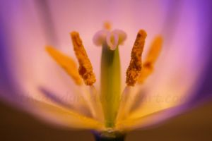 Tulip 5 by TheDevlyn