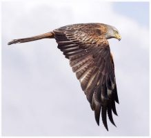 Red Kite Juvenile by Jamie-MacArthur