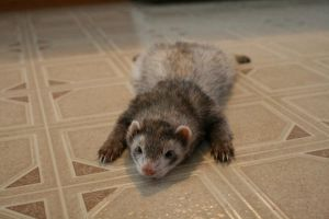 Ferret by jamesmarsh
