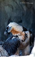 bearded vulture by PiTurianer